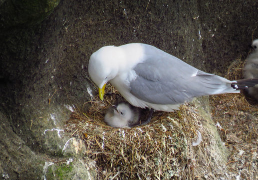 Black-legged kittiwake gull taking care of chick, nest at the cliff coast of Reykjanes Peninsula, Iceland