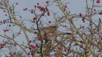 Fotoväggar - Fieldfare, Turdus pilaris, single bird with hawthorn berries, Warwickshire, December 2018