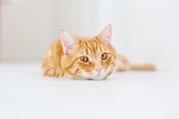 Portrait of a striped domestic red cat on a white background
