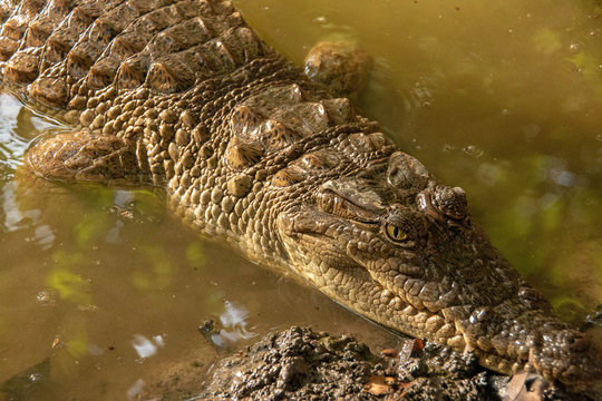 Crocodile in the Gambia River in Senegal, West Africa