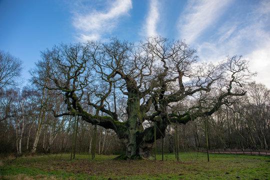 The Major Oak is a pedunculate oak found in Sherwood Forest, Nottinghamshire, England