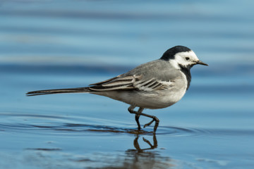 white wagtail at the beach in summer