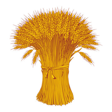 Sheaf of wheat enagraving. Ears of wheat, barley or rye. Vector illustration.