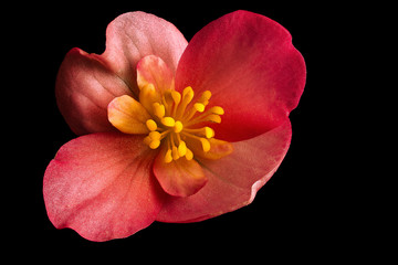Pink Begonia Flower Isolated on Black Background