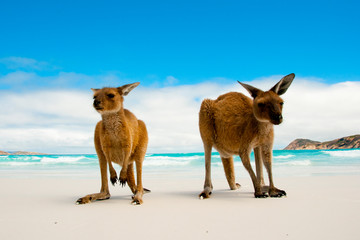 Papiers peints Kangaroo Kangaroos on Lucky Bay White Sand Beach - Australia