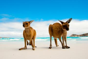 Photo sur Aluminium Kangaroo Kangaroos on Lucky Bay White Sand Beach - Australia