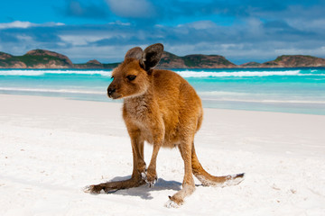 Papiers peints Kangaroo Kangaroo on Lucky Bay White Sand Beach - Australia