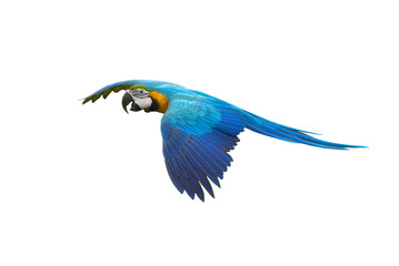 Blue and gold macaw flying isolated on white background Fotomurales