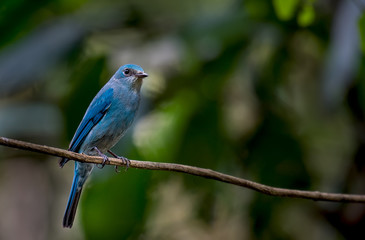 Verditer Flycatcher on branch in nature.