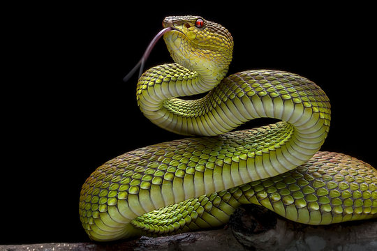 Green Goldy Viper -  - Reptil Animals Photo Collection
