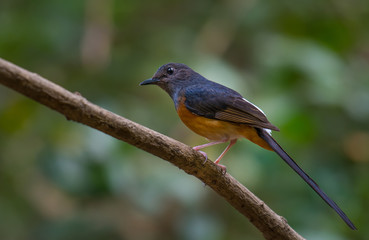 White-rumped Shama male on branch in nature.