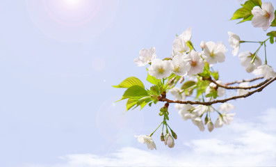 Wall Mural - 満開の桜と日の光
