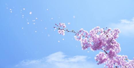 Wall Mural - 青空に舞う満開の桜