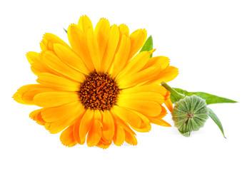 Calendula. Marigold flower with leaves isolated on white background.