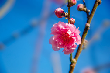 Wall Mural - Plum blossom Pink Blossoming blue background