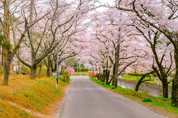 宮城 高倉農園公園の桜