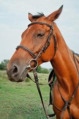 Beautiful brown horse close up. Horse in nature. Horse head portrait