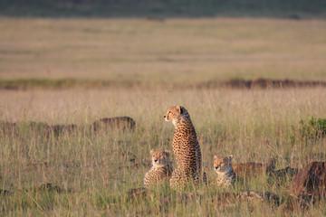 Ghepardi scrutano orizzonte a caccia