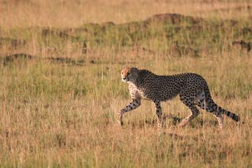Ghepardo a caccia
