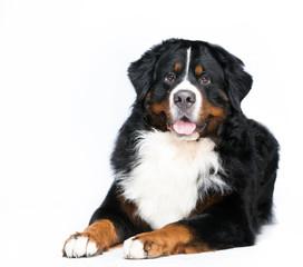 bernese mountain dog closeup portrait