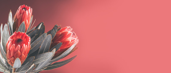 Klistermärke - Protea buds closeup. Bunch of red King Protea flowers. Valentine's Day bouquet. Widescreen background