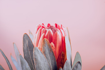 Fotoväggar - Protea bud closeup. Red King Protea flower on pink background. Beautiful fashion flower macro shot. Valentine's Day gift