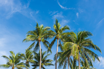 Coconut Palm tree with blue sky,beautiful tropical background