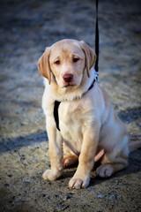 An Image of a labrador dog