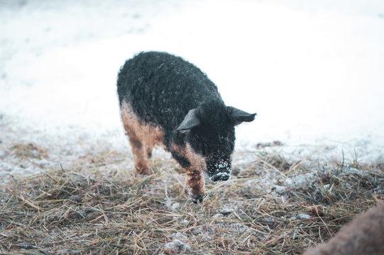Cute Sus scrofa domesticus,  Black Mangalica pig  potrait
