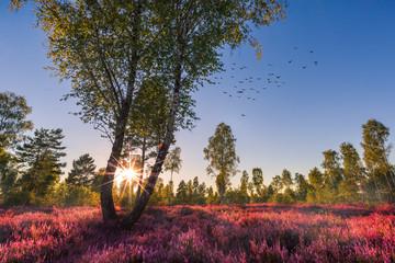 Heide / Heidekraut blüht mit Sonnenuntergang