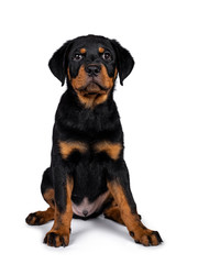 Cute purebred Rottweiler dog pup sitting straight up facing front. Cute face looking with sweet eyes to lens camera. Isolated on white background.