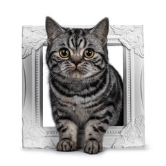 Cute dark tabby British Shorthair cat kitten, sitting throught white photo frame looking at camera. Tail hanging from edge. Isolated on white background.