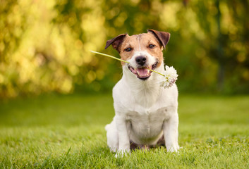 Valentines day greeting card with happy dog holding white flower in mouth