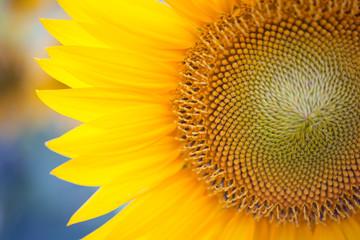 Beautiful yellow summer sunflower flowers against the sky, stunning landscape. Field of sunflowers