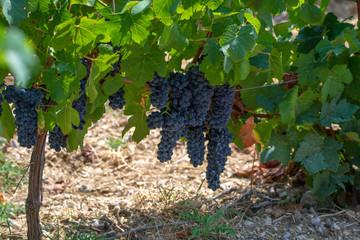 Fototapete - French red  AOC wine grapes plant, new harvest of wine grape in France, Vaucluse, Gigondas domain or chateau vineyard Dentelles de Montmirail