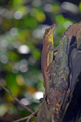 Close up of small olive brown ground lizard with wide chestnut eye, long thin mouth, lime and gold belly, detailed scales and sharp claws hanging from moss covered rotten wood in Tobago's rainforest.