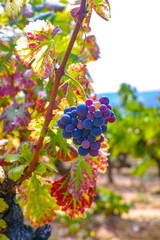 Fototapete - French red and rose wine grapes plant, growing on ochre mineral soil, new harvest of wine grape in France, Vaucluse Luberon AOP domain or chateau vineyard close up