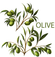 Olive on white background.Digital painting and illustration.