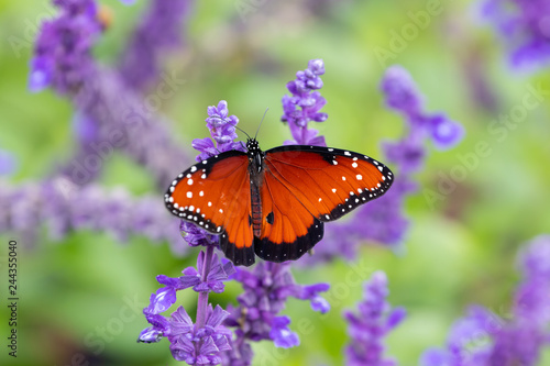Monarch Milkweed Butterfly On Purple Flower Salvia Stock Photo