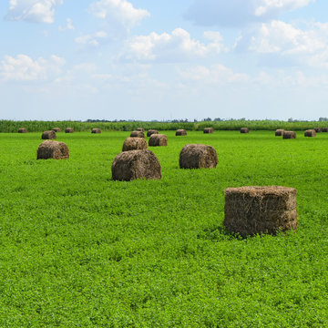 Haystacks rolled up in bales of alfalfa