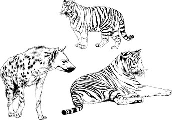 vector drawings sketches different predator , tigers lions cheetahs and leopards are drawn in ink by hand , objects with no background