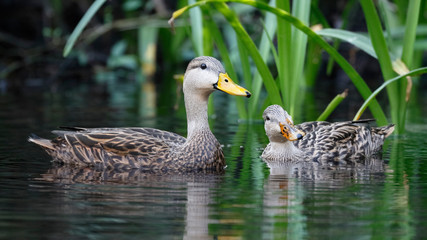 Pair of Mottled Duck on a Florida river Fototapete