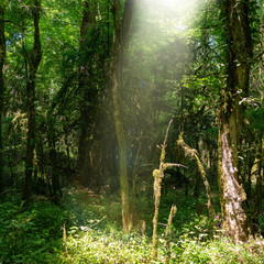 The sun's rays pass through a thick forest