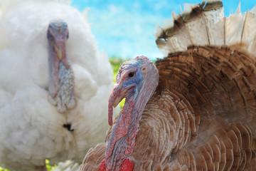 Close up head big turkey in garden