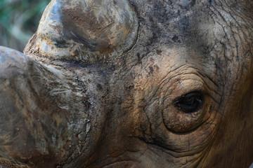 Face Of An Endangered Black Rhinoceros (diceros bicornis)