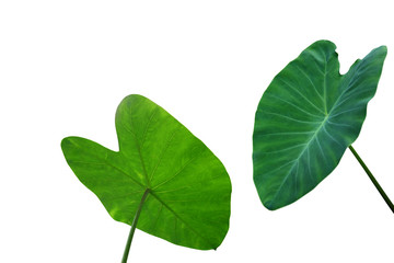 Large heart shaped green leaves of Elephant ear or taro (Colocasia species) the tropical foliage plant isolated on white background, clipping path included. Wall mural