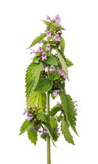 Branch blossoming lemon balm isolated on white background, closeup