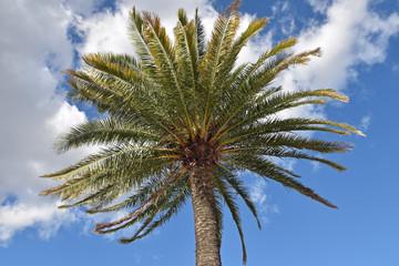 Palmier des Canaries (Phoenix canariensis)