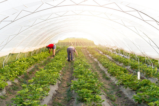 People working in the field. Strawberry fruit being picked in plastic greenhouse.