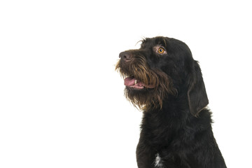 Portrait of the head of a female Cesky Fousek dog looking away seen from the front isolated on a white background